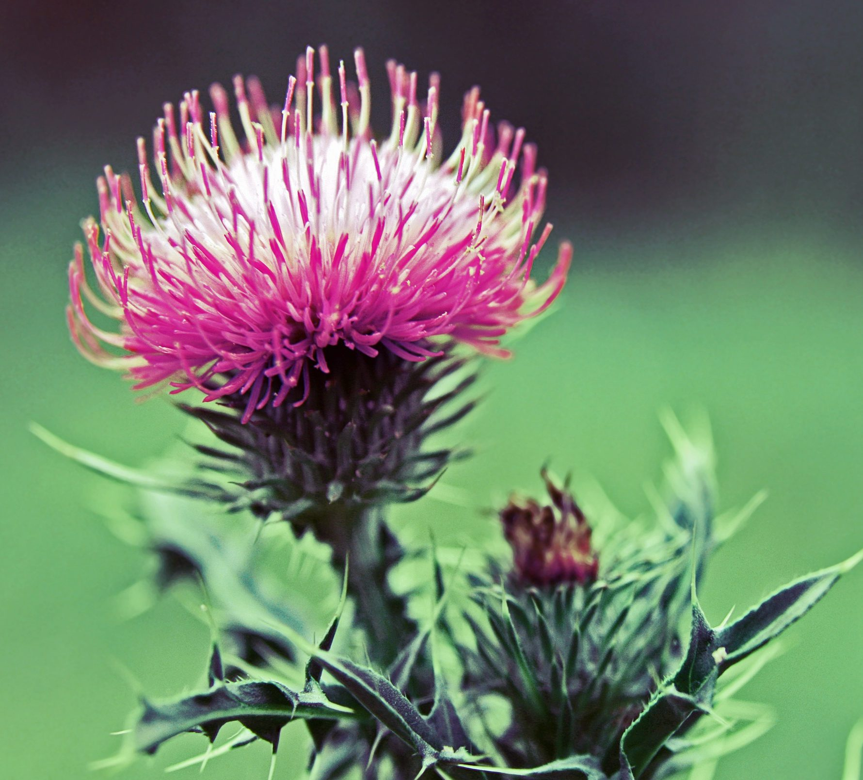 A bright pink thistle in Scotland