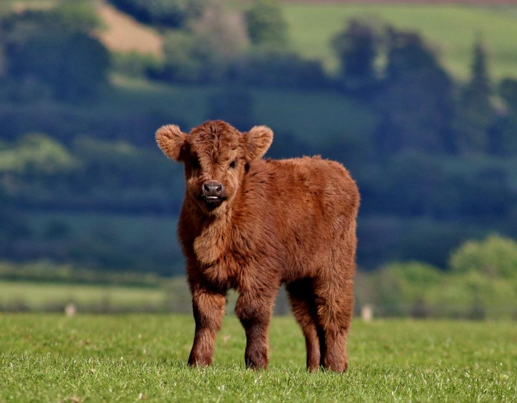 A young Highland cow