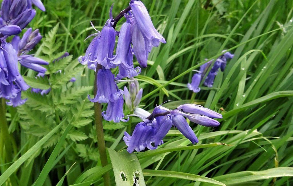 Macro shot of Bluebell flower Scotland