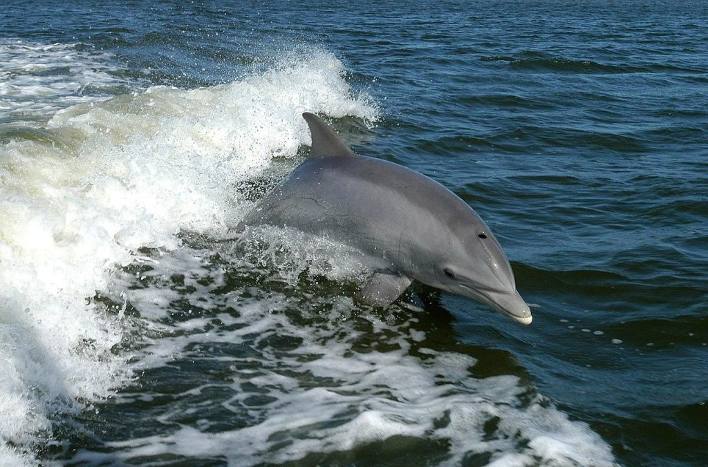 Bottlenose dolphin in Scotland