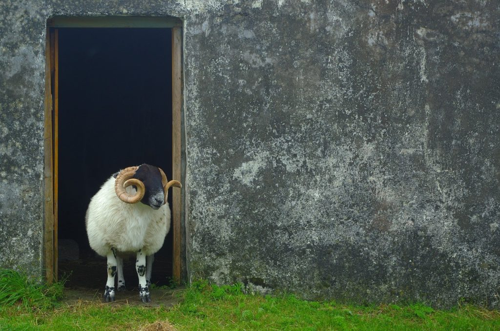 A sheep in a doorway in rural Scotland